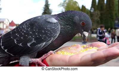 A dove is fed from the hand of a kind woman in slo-mo