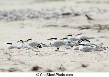 Royal terns standing and sitting in a colony on the beach