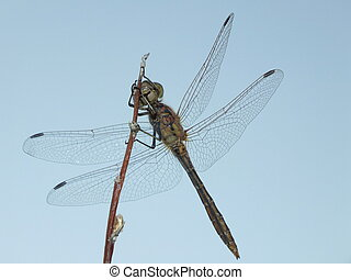 A dragonfly seen from below