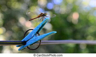 Dragonfly sits on clothespin. Outdoors - A Dragonfly sits on...