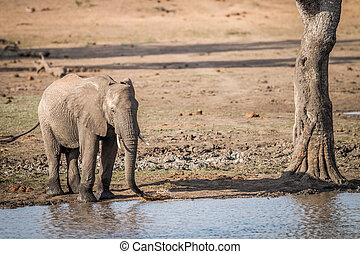 A drinking Elephant in the Kruger.