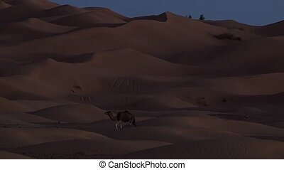 A dromedary camel at night.