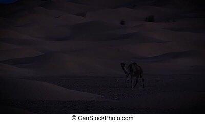 A dromedary camel at night.