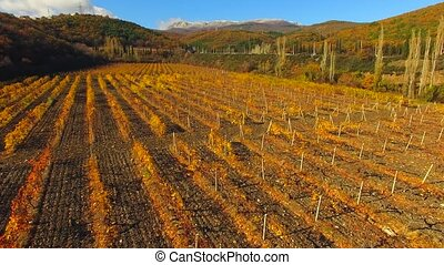 A drone flies over the autumn vineyard