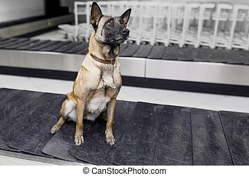 A drug detection labrador dog at the airport sits down on the band luggages.
