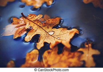 A dry curved leaf that fell from an oak tree lies on the surface of the water in a puddle, and on it are drops after the rain. Macro.