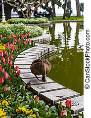 A duck walks on the parapet of the pond in Istanbul, Turkey