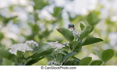 A dung beetle sits on a Bush with white flowers