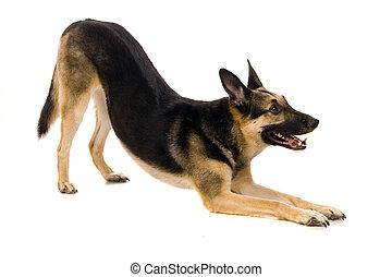 a, east-european, cão, branco