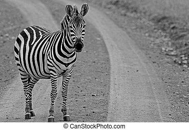 a, einsam, zebra, stehende , rand, a, schmutzfährte, schauen kamera