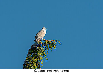 A Eurasian Collared Dove sitting on top of a tree - A ...