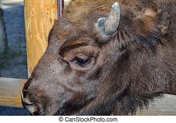 a, europeu, bisonte, (bison, bonasus).