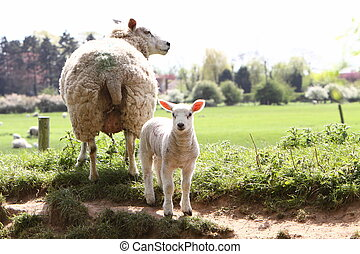 A ewe and a lamb Ovis Aries