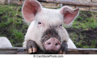 A face of little pig