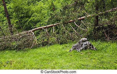 a fallen pine