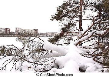 Fallen pine tree in the snow