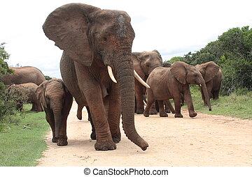 A family herd of elephants