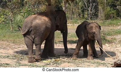 A family of Asian elephants on an elephant farm in Thailand....