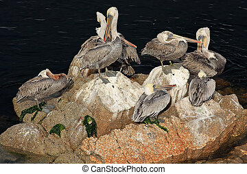 A family of brown pelicans is sitting on a rock