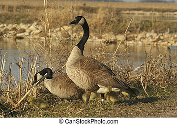canadian geese - a family of canadian geese