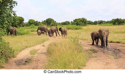 A family of elephants leaves, and two young elephants splash water on themselves from a puddle