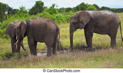 A family of elephants splash water from a puddle