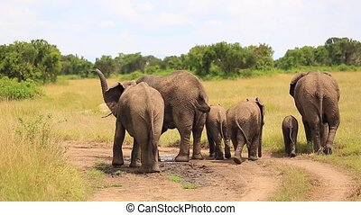 A family of elephants stands back and drenches themselves in water from a puddle