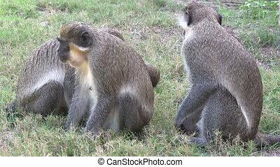 A family of Green monkeys.