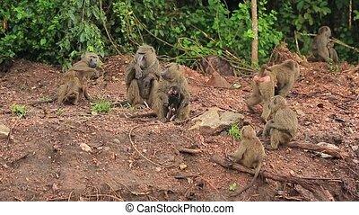 grey African monkeys on a red road somewhere in Africa