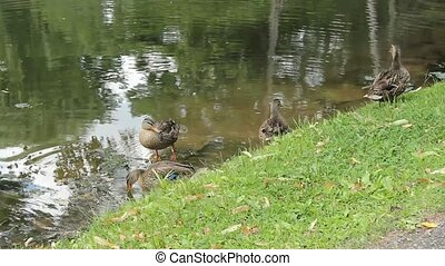 mallard ducks - a family of mallard ducks on a river bank