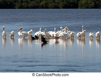 A family of pelicans