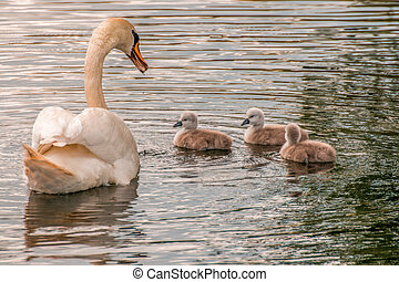 a family of swans on a pond