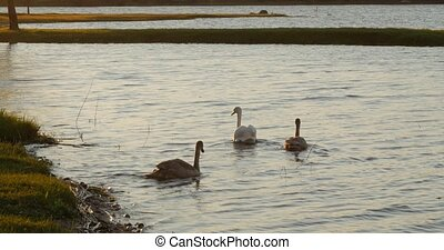A family of white swans swims along the autumn lake