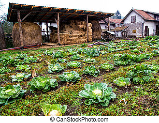 Farm with a Cultivation of Cabbage