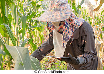farmer checking growth of corn and using tablet in the field