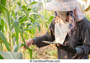 A farmer checking growth of corn and using technology