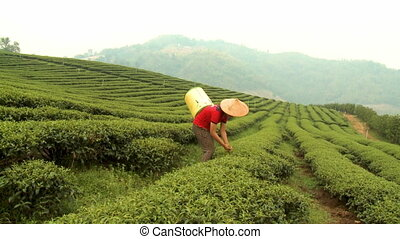 A farmer hand-picking tea leaves from its plant