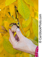 A farmer picking a nut from a tree, hand close up.