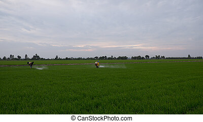 A farmer spraying insecticide in rice field