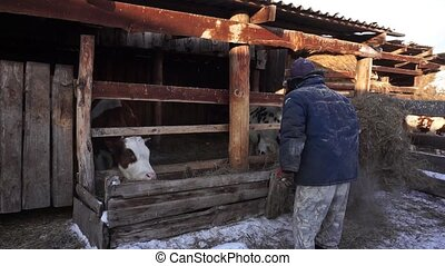 A farmer works with household chores. Cattle. Village. Cows