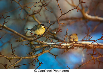 A fat tit sits on a branch of a bush on a winter day