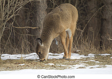 A Fawn Doe eating in winter - A Whitetail Deer fawn doe...