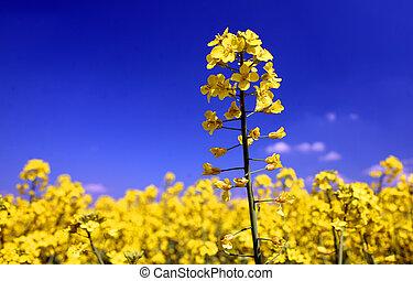a, feld, mit, blühen, gelber , oilseed, rapeseed