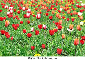 a, feld, von, rotes , rosa, und, weißes, tulpen