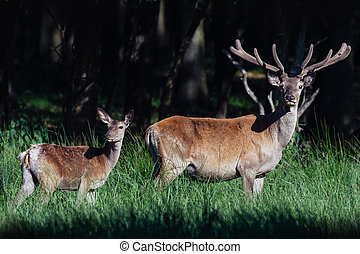 A female and calf Red Deer standing in a forest