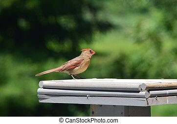 A female Cardinal in a bird feeder