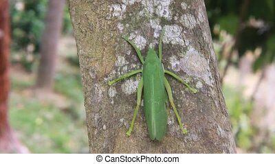 A female Common True Katydid (Pterophylla camellifolia) on...