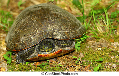 A female Eastern painted turtle among the ground foliage outside hiding inside of her shell