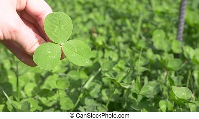 A female hand holds a shamrock clover against the background...
