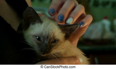 A female hand pats a tiny siamese kitten with blue eyes.